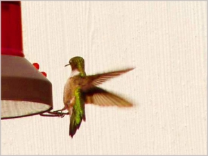hummingbird_rubythroated0001_460w